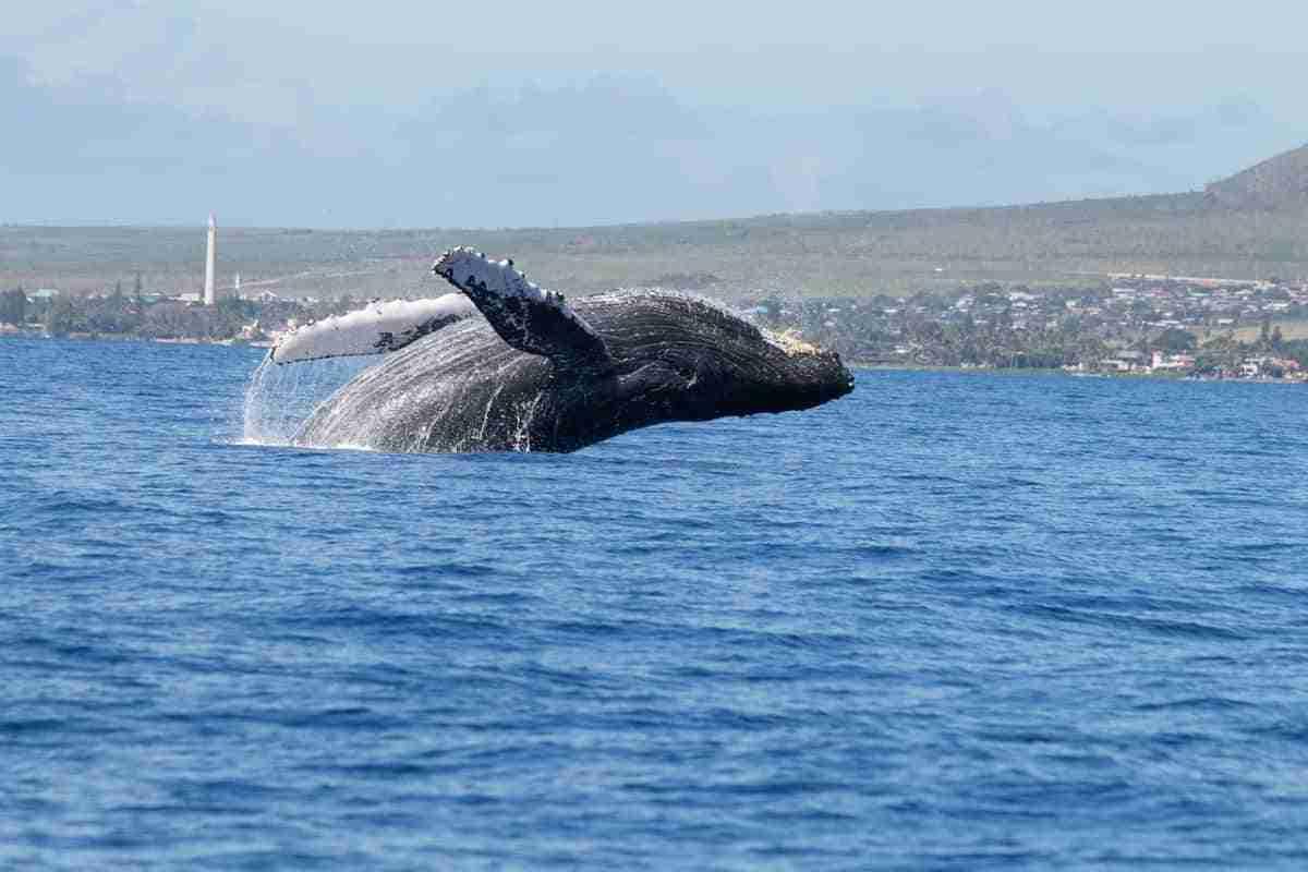 ballena jorobada en la isla de maui
