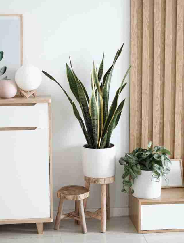 plantas para interiores lengua de suegra