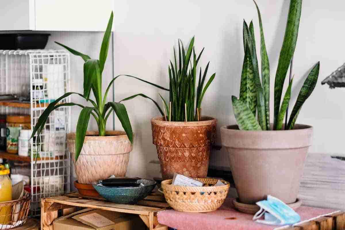 decorar con plantas de sanseviera