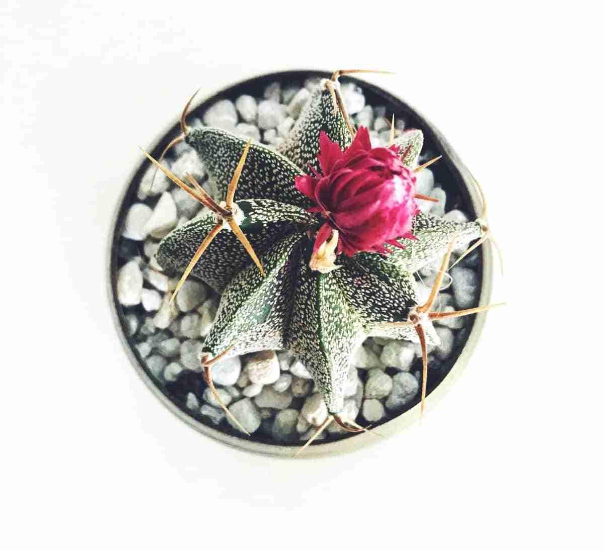 origen de los cactus